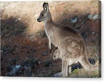 Kangaroo And Joey Canvas Print by Steven Ralser