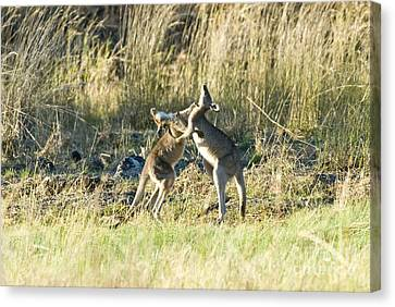 Kangaroo Boxing Canvas Print by William H. Mullins