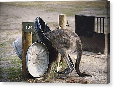 Kangaroo In Garbage Canvas Print by Mark Newman