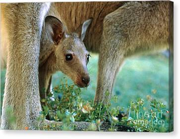 Kangaroo Joey Canvas Print by Mark Newman