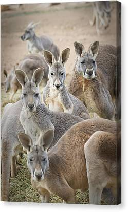 Kangaroos Waga Waga Australia Canvas Print by Jim Julien