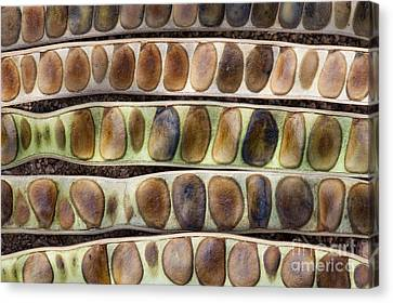 Kassod Tree Seed Pods Pattern Canvas Print by Tim Gainey