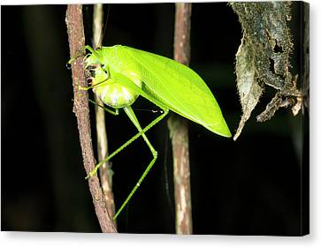 Katydid Laying Eggs Canvas Print by Dr Morley Read