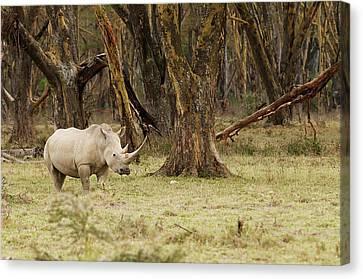 Kenya, Africa Adult Rhinoceros Canvas Print by Jan and Stoney Edwards