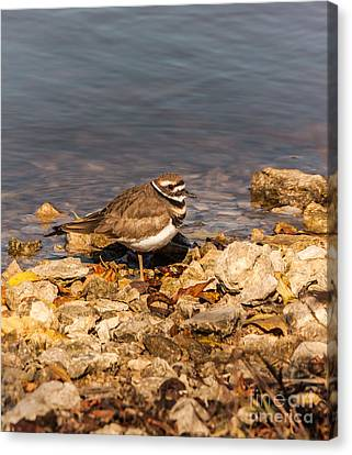 Kildeer On The Rocks Canvas Print by Robert Frederick