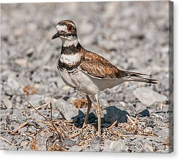 Killdeer Nesting Canvas Print by Lara Ellis