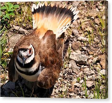 Killdeer On Its Nest Canvas Print by Chris Flees