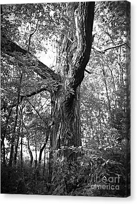 King Of The Timber Bw Canvas Print by Garren Zanker