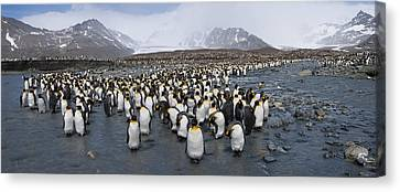 King Penguins Aptenodytes Patagonicus Canvas Print by Panoramic Images