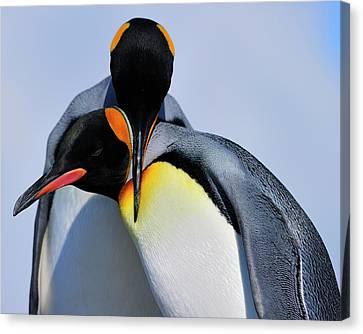 King Penguins Bonding Canvas Print by Tony Beck