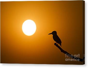 Kingfisher Sunset Canvas Print by Tim Gainey