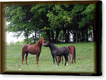 Kissing Cousins- The Paso Fino Stallions Canvas Print by Patricia Keller