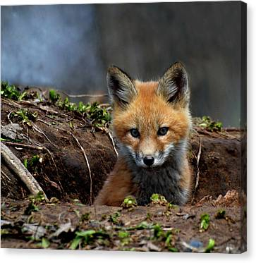 Kit Fox Canvas Print by Thomas Young