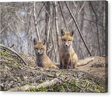 Kit Foxes 2011-1 Canvas Print by Thomas Young