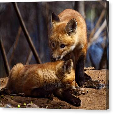 Kit Foxes Canvas Print by Thomas Young