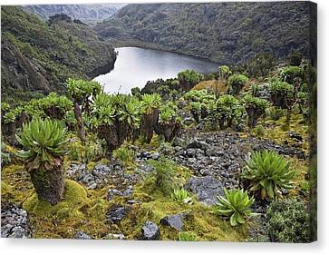 Kitandara Valley, Rwenzori, Uganda Canvas Print by Martin Zwick