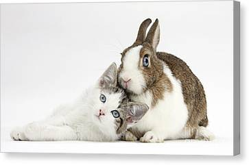 Kitten And Netherland Dwarf Rabbit Canvas Print by Mark Taylor