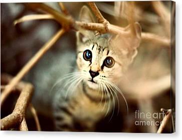 Kitten Canvas Print by Jasna Buncic