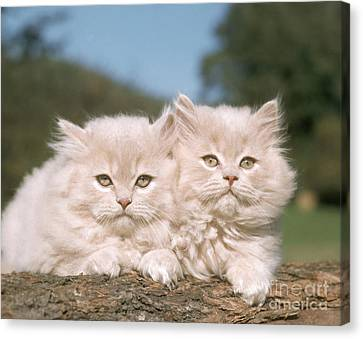 Kittens Canvas Print by Hans Reinhard
