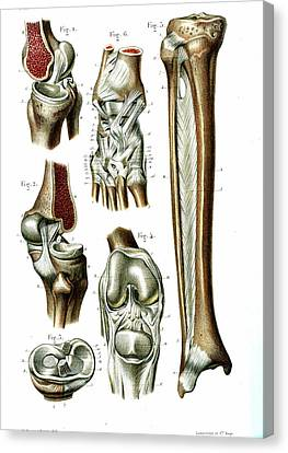 Knee And Ankle Joints Canvas Print by Collection Abecasis