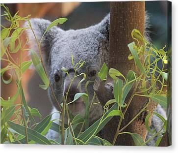 Koala Bear  Canvas Print by Dan Sproul