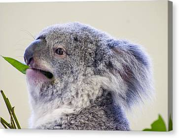 Koala Close Up Canvas Print by Chris Flees