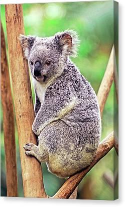 Koala In A Tree Canvas Print by Bildagentur-online/mcphoto-schulz