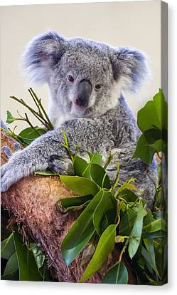 Koala On Top Of A Tree Canvas Print by Chris Flees