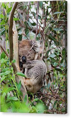 Koala (phascolarctos Cinereus Canvas Print by Martin Zwick