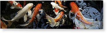 Koi Carp Swimming Underwater Canvas Print by Panoramic Images