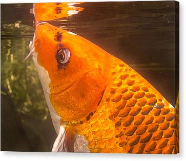Koi Sipping At Surface Canvas Print by Jean Noren