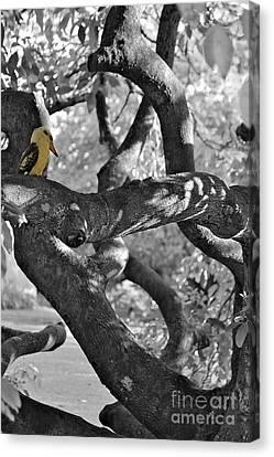 Kookaburra Bird  Canvas Print by Alanna DPhoto