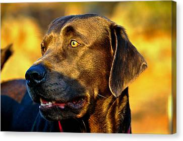 Lab Puppy At Sunset Canvas Print by Kristina Deane