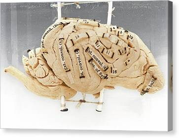 Labelled Dog's Brain Canvas Print by Ucl, Grant Museum Of Zoology