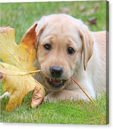 Labrador Retriever Puppy With Autumn Leaf Canvas Print by Jennie Marie Schell