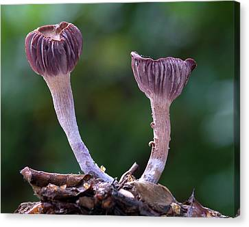 Laccaria Amethystea Fungi Canvas Print by Nigel Downer
