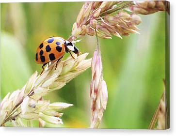 Lady Bug On A Warm Summer Day Canvas Print by Andrew Pacheco