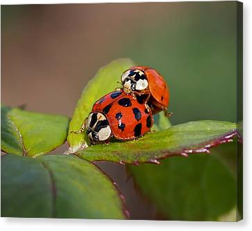 Ladybird Coupling Canvas Print by Rona Black