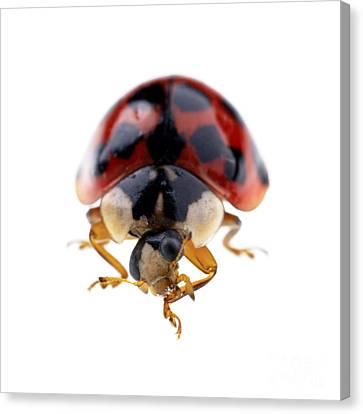 Ladybird Macro Canvas Print by Jane Rix
