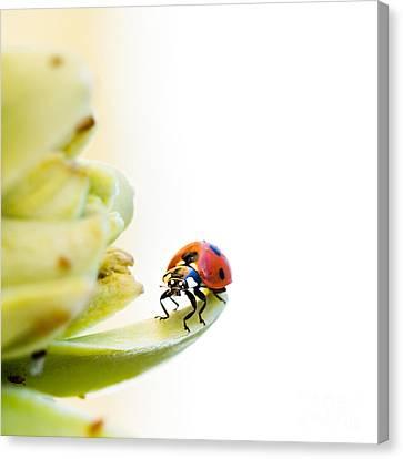 Ladybird On Desert Flower Canvas Print by Jane Rix