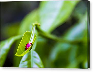 Ladybug Cup Canvas Print by Marvin Spates