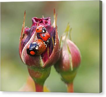 Ladybug Foursome Canvas Print by Rona Black
