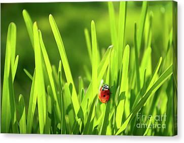 Ladybug In Grass Canvas Print by Carlos Caetano