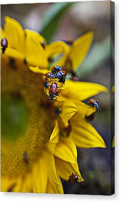 Ladybugs Close Up Canvas Print by Garry Gay