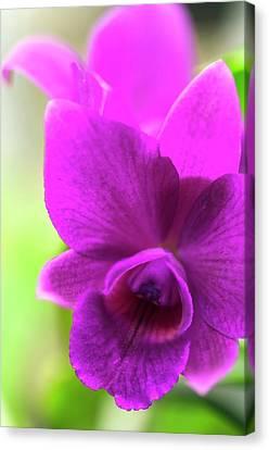 Laeliocattleya Orchid Canvas Print by Maria Mosolova