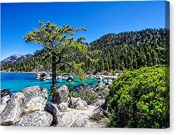 Lake Tahoe Bonsai Tree Canvas Print by Scott McGuire