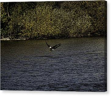 Landing Eagle Canvas Print by Thomas Young