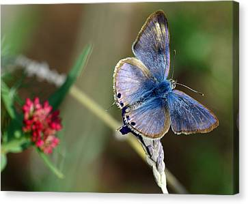 Lang's Short-tailed Blue Canvas Print by Meir Ezrachi