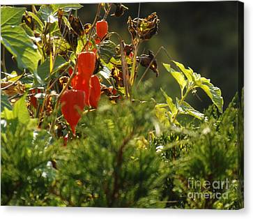 Lantern Plant Canvas Print by Brenda Brown