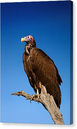 Lappetfaced Vulture Against Blue Sky Canvas Print by Johan Swanepoel